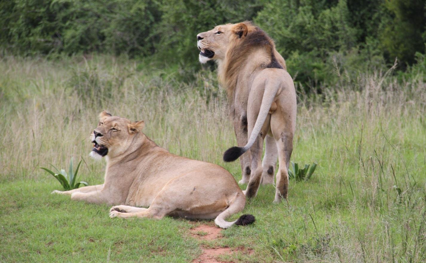 Eine Löwin liegt im Gras, ein Löwe steht daneben.