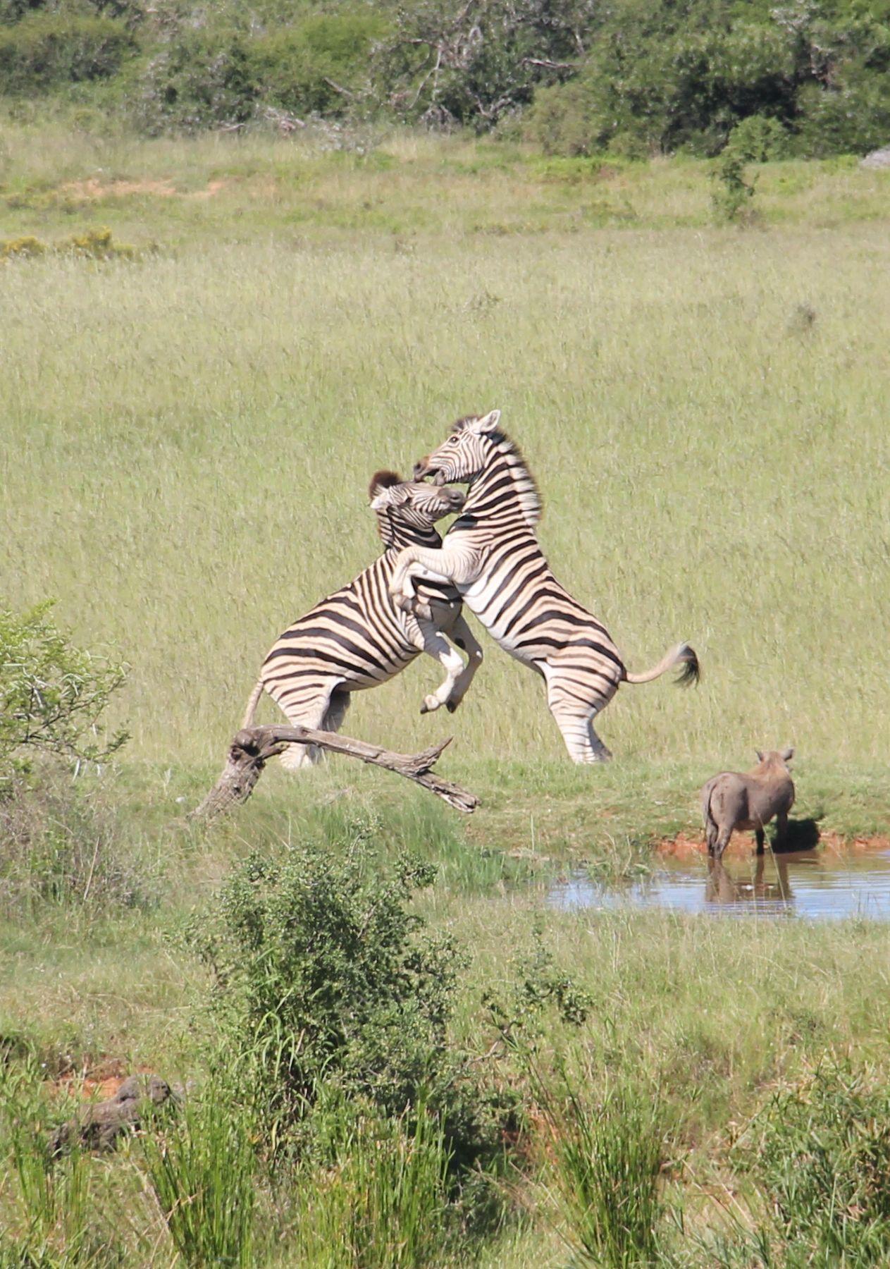 Zwei Zebras bäumen sich gegeneinander auf.